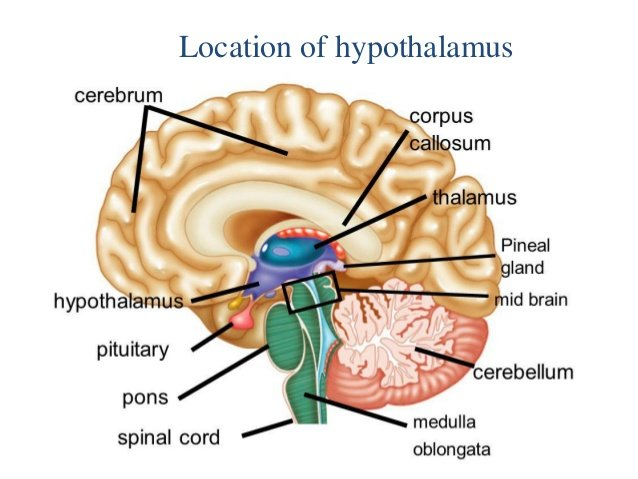 Impact of too many ejaculations on the hypothalamus